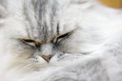 Persian cat Stock Images