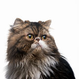 The Persian cat dark isolated Stock Image