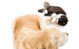 Persian cat with a dog Stock Photo