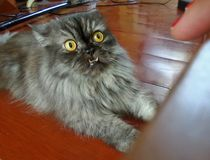 Persian cat frighten by red polished nail. Naughty cat playing with moving red polished nail royalty free stock photos