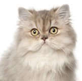 Persian cat, in front of white background Royalty Free Stock Photography