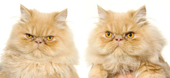Persian cat. In front of white background Stock Photo