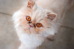Persian Cat Glance Royalty Free Stock Photography