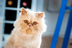 Persian Cat Glance Stock Images
