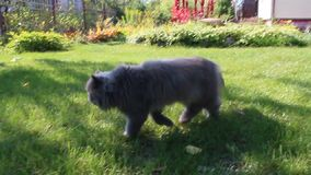 Persian cat going for a walk on the green grass stock video footage