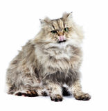 Persian cat golden chinchilla with tongue Stock Image