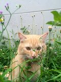 Persian cat. In grass Royalty Free Stock Photography