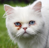 Persian cat, green outdoor Royalty Free Stock Image
