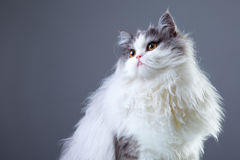 Persian cat on grey background Stock Photos