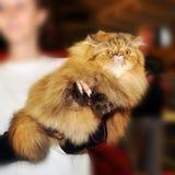 Persian cat at the hands Royalty Free Stock Photos