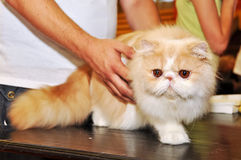 Persian cat. At the hands of the owner stock photography