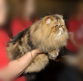 Persian cat at the hands of the owner Stock Image