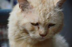 Persian cat. A homeless old Persian cat Royalty Free Stock Photo