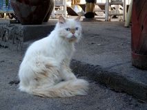 Persian cat with ice-blue eyes - Bali royalty free stock images