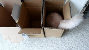 Persian cat jumpping into a box. At home stock footage