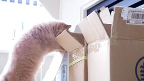 Persian cat jumpping into a box. With over white exposure backlight stock footage