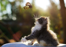 Persian cat. Kitten and butterfly Stock Photos
