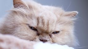 Persian cat lie down on cat tree. And watch people stock video footage