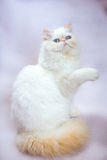 Persian cat a light background Stock Image