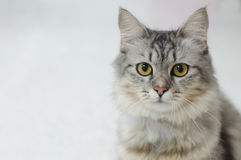 Persian cat on a light gray background Royalty Free Stock Photo