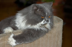 Persian cat looking from  sofa Royalty Free Stock Image