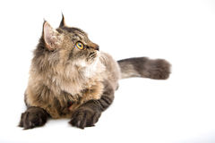 Persian Cat Looking up Stock Photo