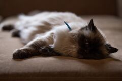 Persian Cat Lying on Bed Stock Image