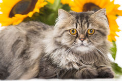 Persian cat lying with sunflowers. Portrait of beautiful Persian cat lying with sunflowers on white background Royalty Free Stock Photography