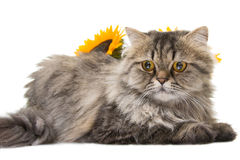 Persian cat lying with sunflowers. Portrait of beautiful Persian cat lying with sunflowers on white background Stock Photos