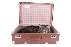 Persian cat lying in vintage suitcase Stock Photography