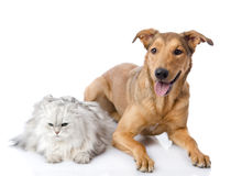 Persian cat and mixed breed dog together. Stock Photos