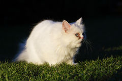 Persian cat, outdoor Stock Image