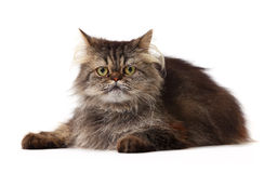 Persian cat over white background Stock Image