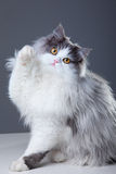 Persian cat playing on grey background Royalty Free Stock Photos