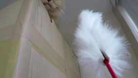 Persian cat playing with her toy stock footage