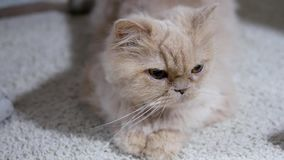 Persian cat playing with people on floor. Motion of persian cat playing with people on floor stock video