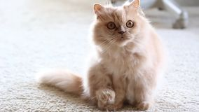 Persian cat playing with people stock video