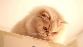 Persian cat playing toy Stock Images
