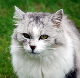 Persian cat portrait. The picture shows a portrait of a grey and white persian pedigree cat sitting in the grass. The background of the image is blurred stock photos