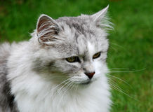 Persian Cat portrait. The picture shows a portrait of a grey and white persian pedigree cat sitting in the grass. She has a very proud look. The green background stock photo