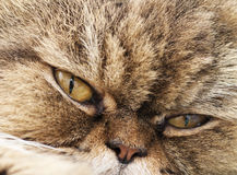 Persian cat. Portrait of the Persian cat Stock Images