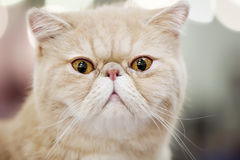 Persian cat portrait close-up Stock Images