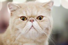 Free Persian Cat Portrait Close-up Stock Images - 21931204