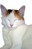 Persian cat portrait. Closeup of Persian cat portrait royalty free stock photography