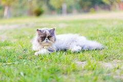 Persian cat portrait Royalty Free Stock Images