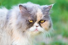 Persian cat portrait Royalty Free Stock Photography