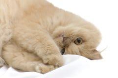Persian cat portrait Stock Images