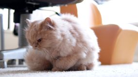 Persian cat prepare taking a rest stock video footage