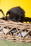 Persian cat puppy. On white background Stock Images