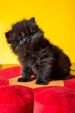 Persian cat puppy. On white background Stock Image